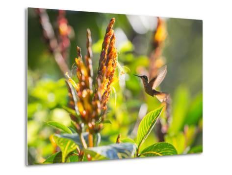 Brazilian Ruby Hummingbird, Clytolaema Rubricauda, Mid Flight Feeding from a Flower-Alex Saberi-Metal Print