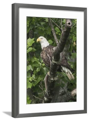 A Bald Eagle, Haliaeetus Leucocephalus, with a Freshly-Caught Fish from the Occoquan River-Kent Kobersteen-Framed Art Print
