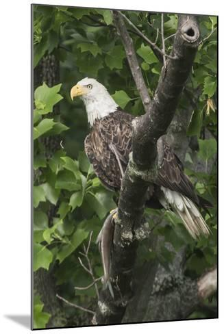 A Bald Eagle, Haliaeetus Leucocephalus, with a Freshly-Caught Fish from the Occoquan River-Kent Kobersteen-Mounted Photographic Print