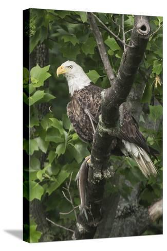 A Bald Eagle, Haliaeetus Leucocephalus, with a Freshly-Caught Fish from the Occoquan River-Kent Kobersteen-Stretched Canvas Print