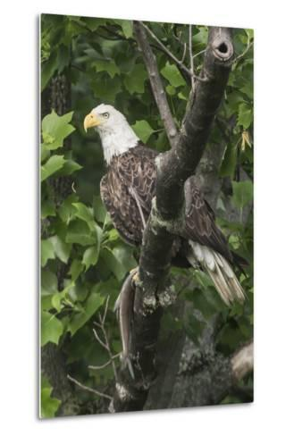 A Bald Eagle, Haliaeetus Leucocephalus, with a Freshly-Caught Fish from the Occoquan River-Kent Kobersteen-Metal Print