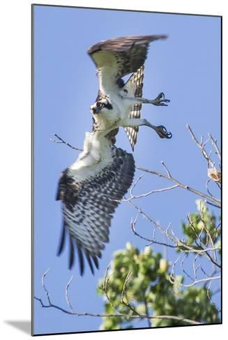 An Osprey, Pandion Haliaetus, Takes Flight from a Tree Branch-Kent Kobersteen-Mounted Photographic Print