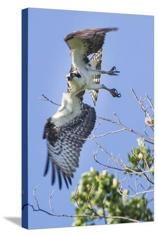 An Osprey, Pandion Haliaetus, Takes Flight from a Tree Branch-Kent Kobersteen-Stretched Canvas Print