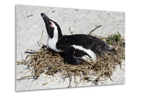 An African Penguin Incubating an Egg in a Nest on a Sandy Beach-Jason Edwards-Metal Print