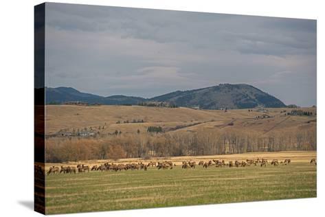 Elk, Cervus Canadensis, Grazing in a Field in the Gallatin Valley-Gordon Wiltsie-Stretched Canvas Print