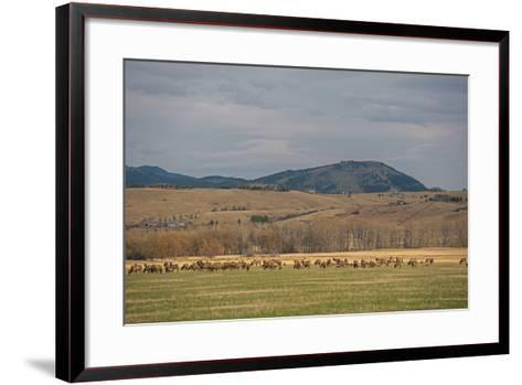 Elk, Cervus Canadensis, Grazing in a Field in the Gallatin Valley-Gordon Wiltsie-Framed Art Print
