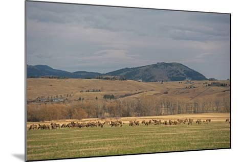 Elk, Cervus Canadensis, Grazing in a Field in the Gallatin Valley-Gordon Wiltsie-Mounted Photographic Print