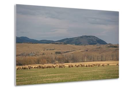 Elk, Cervus Canadensis, Grazing in a Field in the Gallatin Valley-Gordon Wiltsie-Metal Print