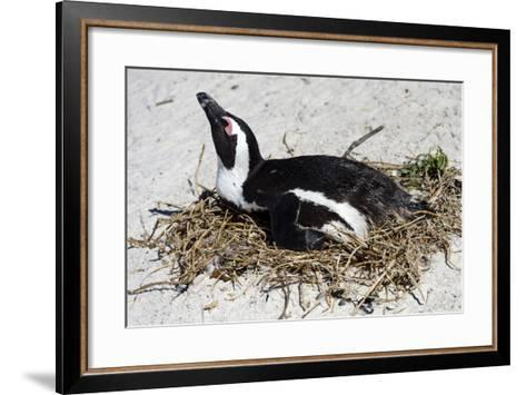 An African Penguin Incubating an Egg in a Nest on a Sandy Beach-Jason Edwards-Framed Art Print