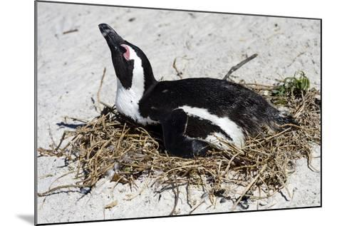An African Penguin Incubating an Egg in a Nest on a Sandy Beach-Jason Edwards-Mounted Photographic Print