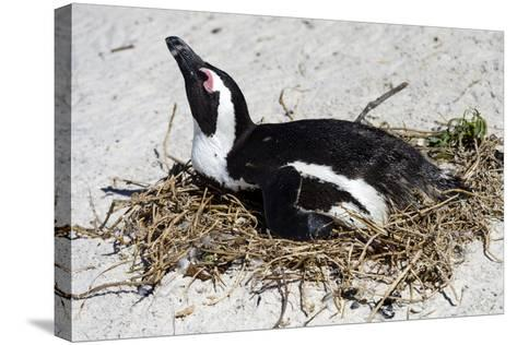 An African Penguin Incubating an Egg in a Nest on a Sandy Beach-Jason Edwards-Stretched Canvas Print
