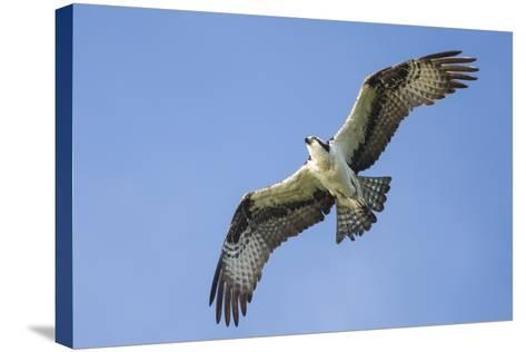 An Osprey, Pandion Haliaetus, in Flight in a Clear Blue Sky-Kent Kobersteen-Stretched Canvas Print