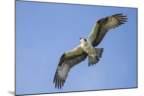 An Osprey, Pandion Haliaetus, in Flight in a Clear Blue Sky-Kent Kobersteen-Mounted Photographic Print