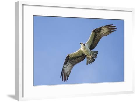 An Osprey, Pandion Haliaetus, in Flight in a Clear Blue Sky-Kent Kobersteen-Framed Art Print