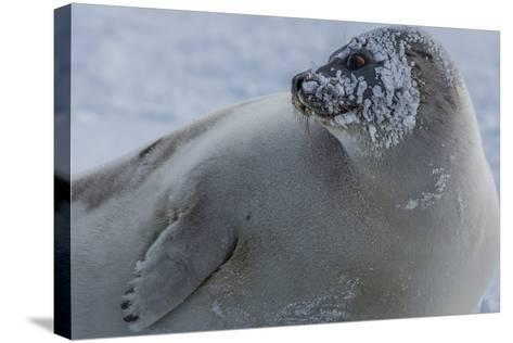 A Molting Juvenile Harp Seal Rests at the Iles De La Madeleine in the Gulf of Saint Lawrence-Cristina Mittermeier-Stretched Canvas Print