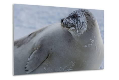 A Molting Juvenile Harp Seal Rests at the Iles De La Madeleine in the Gulf of Saint Lawrence-Cristina Mittermeier-Metal Print