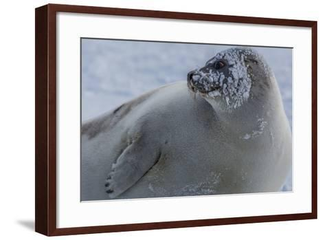 A Molting Juvenile Harp Seal Rests at the Iles De La Madeleine in the Gulf of Saint Lawrence-Cristina Mittermeier-Framed Art Print