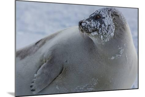 A Molting Juvenile Harp Seal Rests at the Iles De La Madeleine in the Gulf of Saint Lawrence-Cristina Mittermeier-Mounted Photographic Print