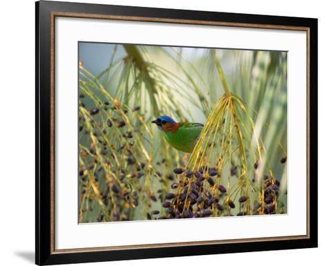 A Red-Necked Tanager, Tangara Cyanocephala, Feeds from the Fruits of a Palm Tree in Ubatuba, Brazil-Alex Saberi-Framed Art Print