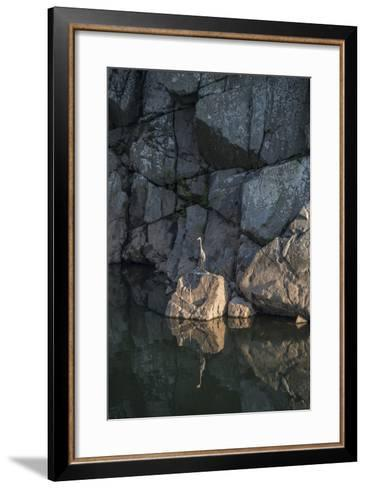 A Great Blue Heron on a Rock in the Potomac River-Irene Owsley-Framed Art Print
