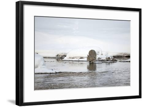 A Bobcat, Lynx Rufus, Crouched to Leap across Water-Robbie George-Framed Art Print