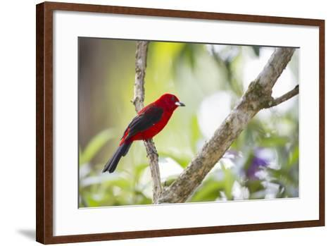 A Brazilian Tanager, Ramphocelus Bresilius, on a Branch with a Tropical Backdrop in Ubatuba, Brazil-Alex Saberi-Framed Art Print