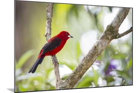 A Brazilian Tanager, Ramphocelus Bresilius, on a Branch with a Tropical Backdrop in Ubatuba, Brazil-Alex Saberi-Mounted Photographic Print