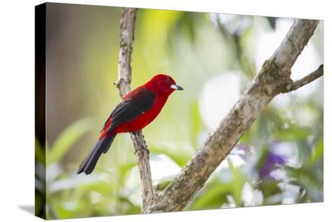 A Brazilian Tanager, Ramphocelus Bresilius, on a Branch with a Tropical Backdrop in Ubatuba, Brazil-Alex Saberi-Stretched Canvas Print