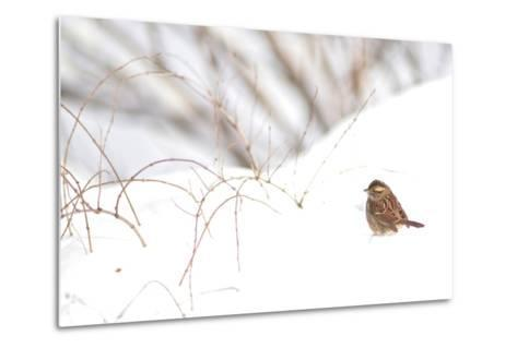 A Sparrow Rests on Snow in Central Park in the Aftermath of Winter Storm Juno-Kike Calvo-Metal Print