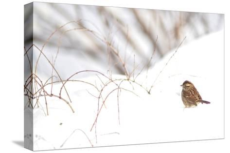A Sparrow Rests on Snow in Central Park in the Aftermath of Winter Storm Juno-Kike Calvo-Stretched Canvas Print