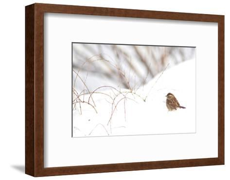 A Sparrow Rests on Snow in Central Park in the Aftermath of Winter Storm Juno-Kike Calvo-Framed Art Print