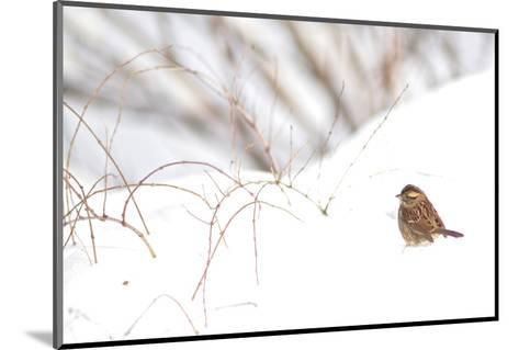A Sparrow Rests on Snow in Central Park in the Aftermath of Winter Storm Juno-Kike Calvo-Mounted Photographic Print