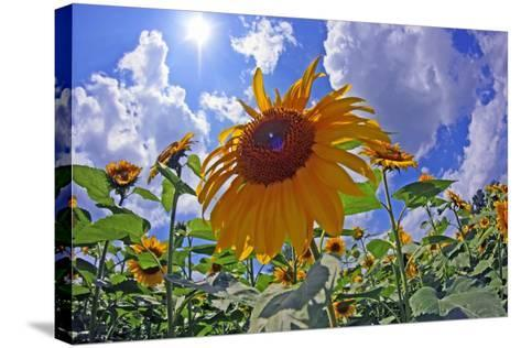 Sun Shines on a Field of Sunflowers-Donna O'Meara-Stretched Canvas Print