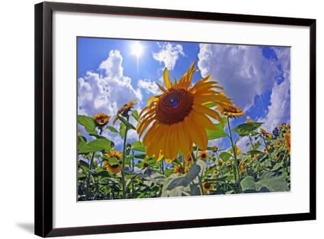 Sun Shines on a Field of Sunflowers-Donna O'Meara-Framed Art Print