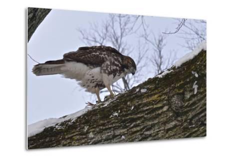 A Raptor Feeds on a Pigeon in Central Park-Kike Calvo-Metal Print