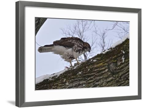A Raptor Feeds on a Pigeon in Central Park-Kike Calvo-Framed Art Print