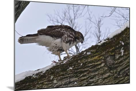 A Raptor Feeds on a Pigeon in Central Park-Kike Calvo-Mounted Photographic Print