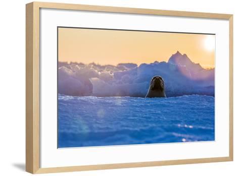 A Female Harp Seal Swims at the Iles De La Madeleine in the Gulf of Saint Lawrence-Cristina Mittermeier-Framed Art Print