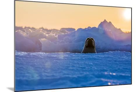 A Female Harp Seal Swims at the Iles De La Madeleine in the Gulf of Saint Lawrence-Cristina Mittermeier-Mounted Photographic Print