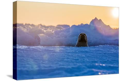 A Female Harp Seal Swims at the Iles De La Madeleine in the Gulf of Saint Lawrence-Cristina Mittermeier-Stretched Canvas Print
