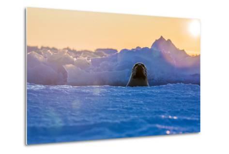 A Female Harp Seal Swims at the Iles De La Madeleine in the Gulf of Saint Lawrence-Cristina Mittermeier-Metal Print