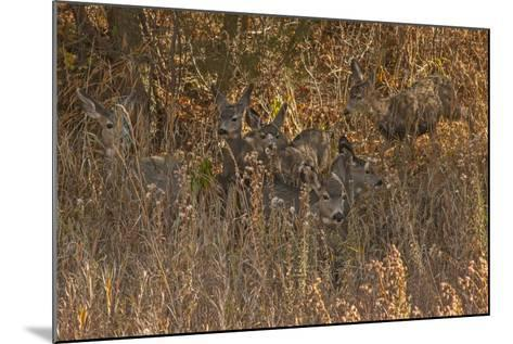 Mule Deer, Odocoileus Hemionus, are Almost Camouflaged as They Watch for Predators-Gordon Wiltsie-Mounted Photographic Print