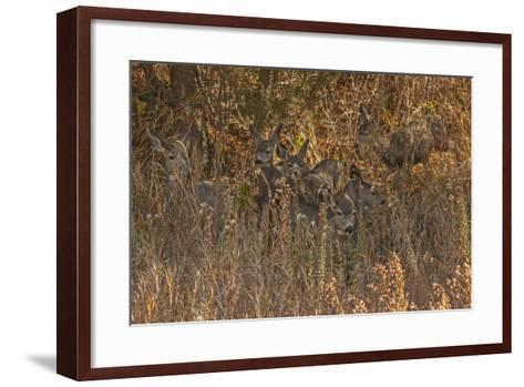 Mule Deer, Odocoileus Hemionus, are Almost Camouflaged as They Watch for Predators-Gordon Wiltsie-Framed Art Print