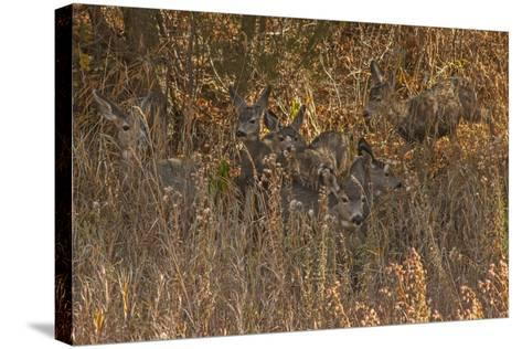 Mule Deer, Odocoileus Hemionus, are Almost Camouflaged as They Watch for Predators-Gordon Wiltsie-Stretched Canvas Print