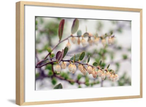 Close Up of a Flowering Leatherleaf Plant, Cassandre Calicule, Growing in a Highland Bog-Darlyne A^ Murawski-Framed Art Print