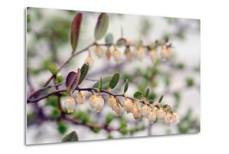 Close Up of a Flowering Leatherleaf Plant, Cassandre Calicule, Growing in a Highland Bog-Darlyne A^ Murawski-Metal Print
