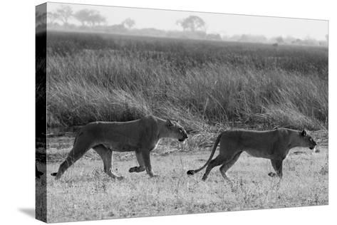 Two Lioness Walking Near a Spillway-Beverly Joubert-Stretched Canvas Print