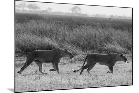 Two Lioness Walking Near a Spillway-Beverly Joubert-Mounted Photographic Print