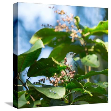 A Azure-Shouldered Tanager on a Branch in the Atlantic Rainforest-Alex Saberi-Stretched Canvas Print
