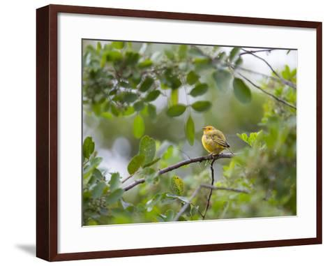 A Saffron Finch, Sicalis Flaveola, Sits on a Branch in Ubatuba, Brazil-Alex Saberi-Framed Art Print